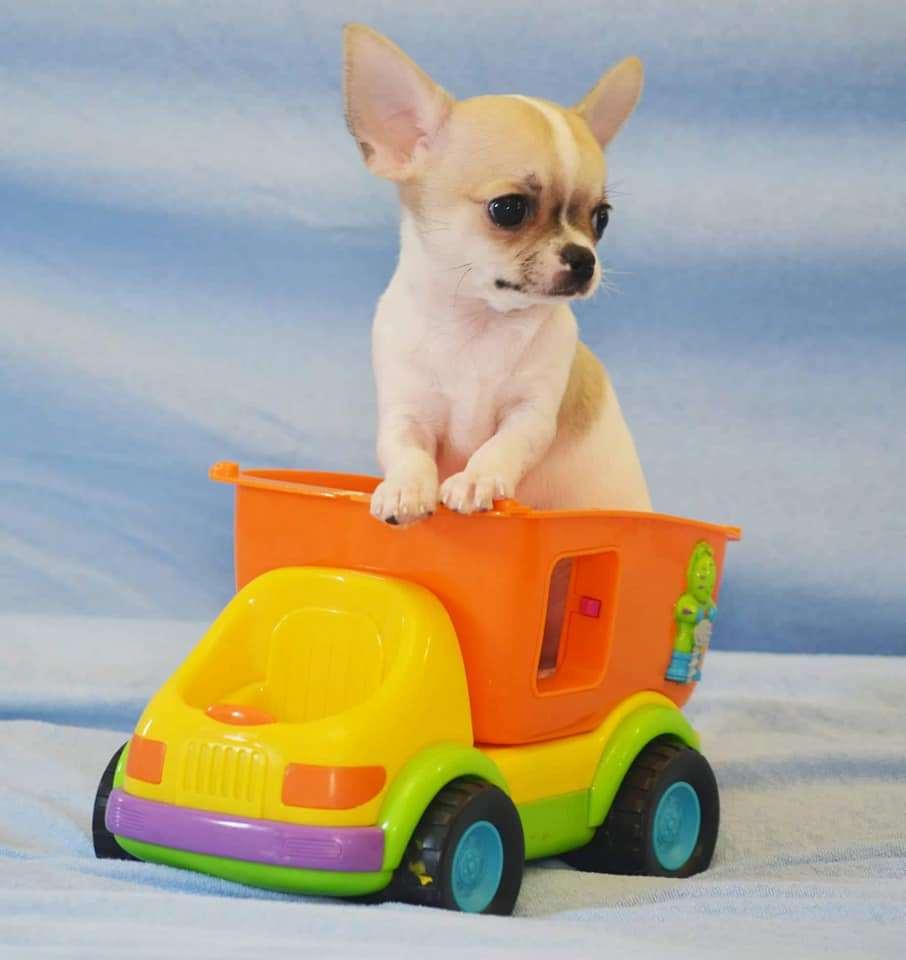 תמונה 3 ,כלבים צ`יוואווה   ז'נטה למכירה בראשון לציון