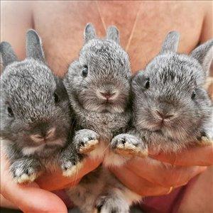 מכרסמים - ארנבות