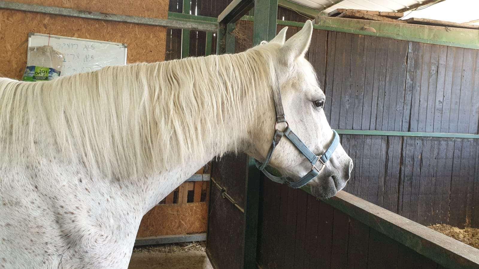 סוסים קווטר