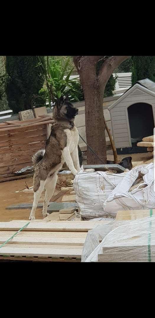 כלבים - אקיטה יפני