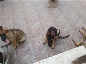 כלבים רועה גרמני מודיעין והסביבה