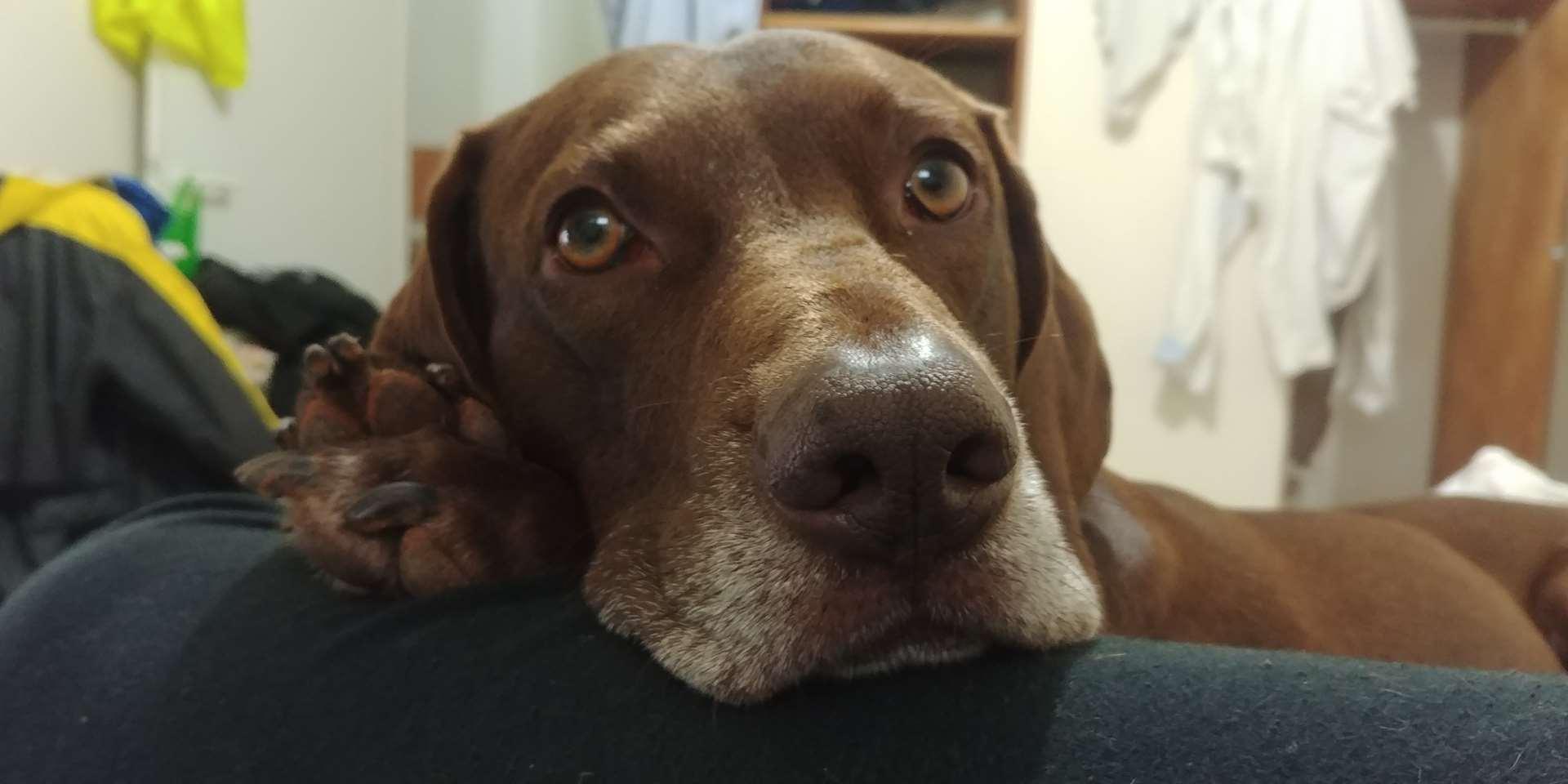 כלבים - פוינטר גרמני