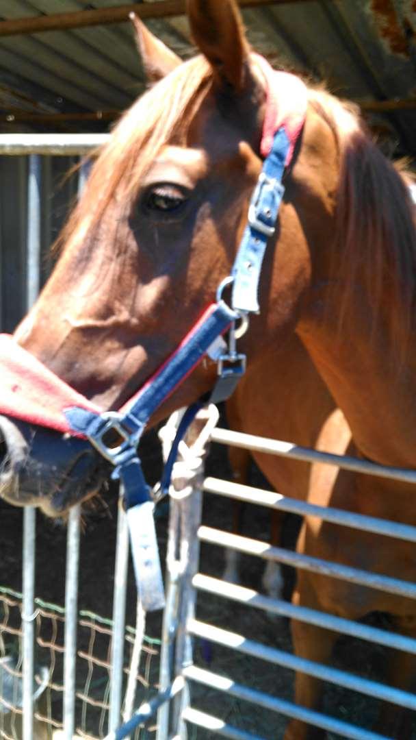 סוסים - ת`ורברייד