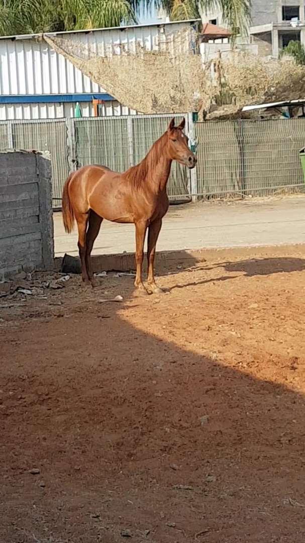 סוסים - סוסי הרבעה