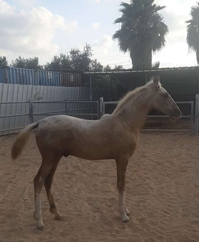 סוסים - טנסי ווקר