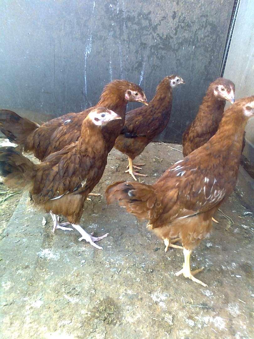 חיות משק - תרנגולים