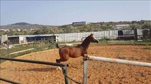 סוסים - ערבי