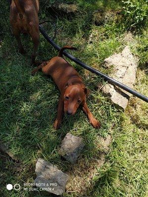 כלבים פינצ`ר ננסי