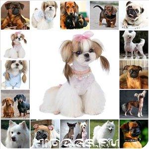 כלבים שי צו חיפה והקריות