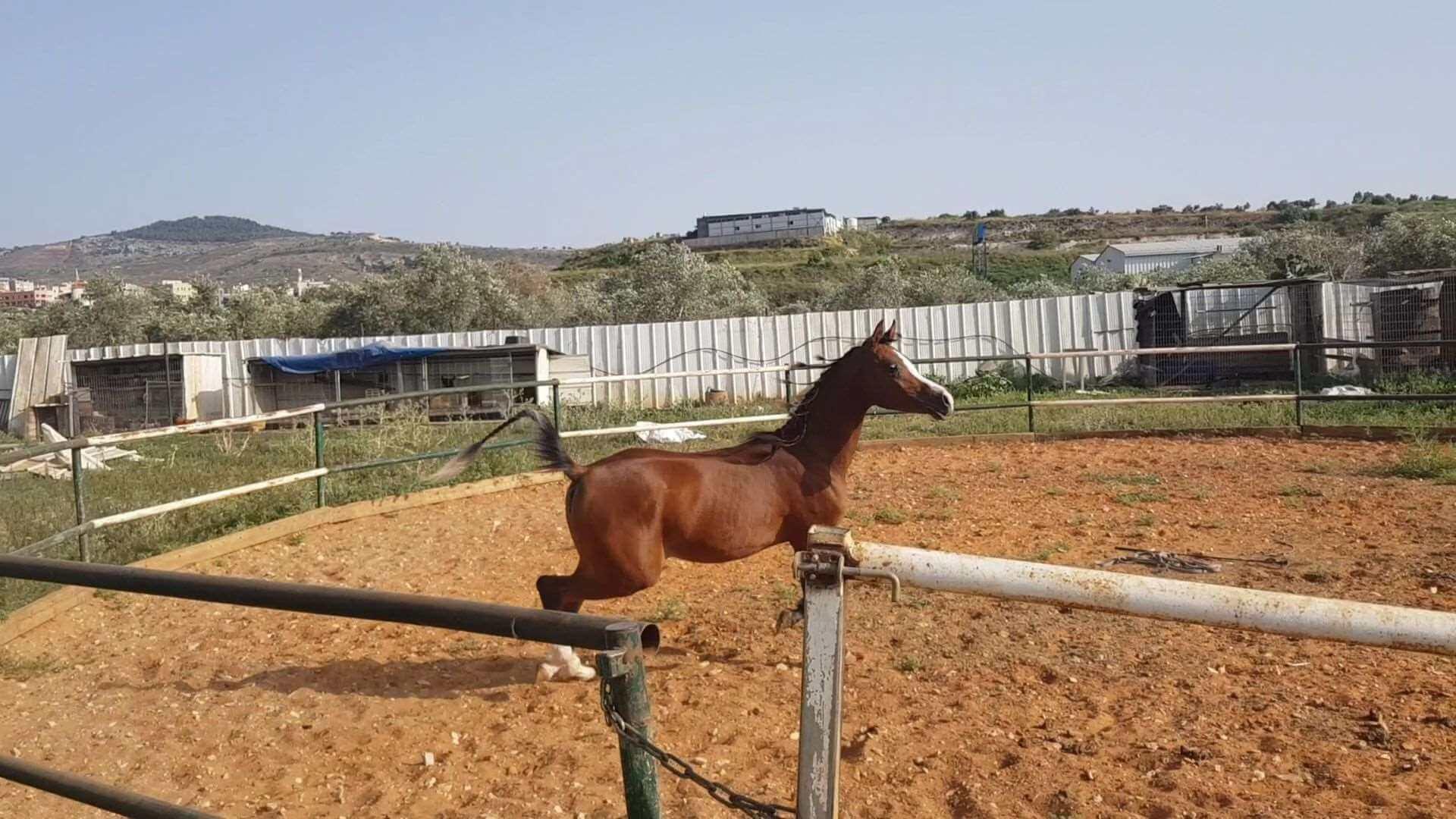 סוסים ערבי אשדוד והסביבה