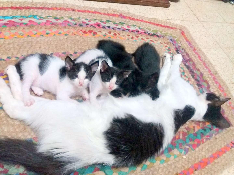 חתולים - בירמן