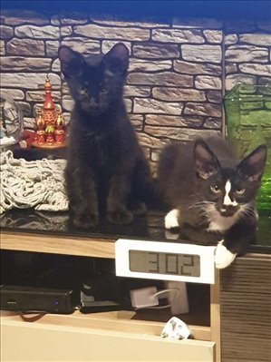 חתולים מיין קון