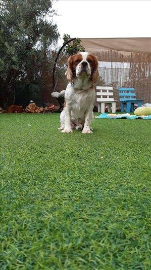 כלבים קבליר קינג צארלס ספנייל עפולה והעמקים
