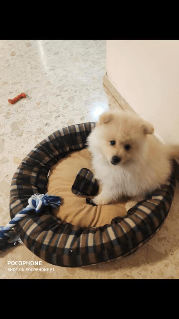 תמונה 2 ,כלבים פומרניאן   לואי למכירה ביבנה הירוקה