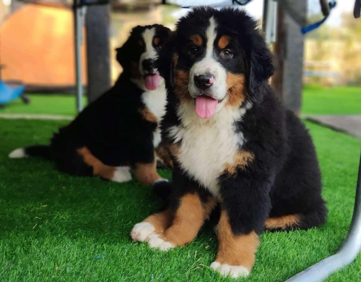 כלבים - ברנר זננהונד