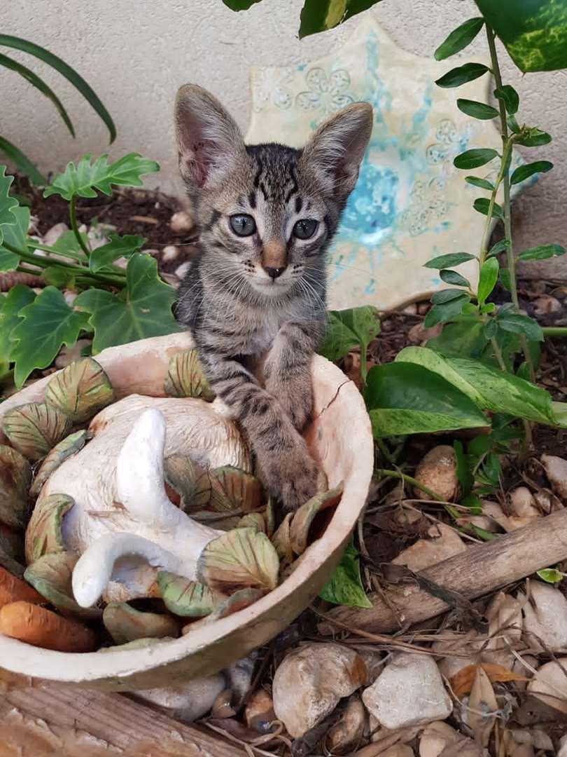 תמונה 4 ,חתולים מעורב   זוג גורי חתולים למסירה בירושלים