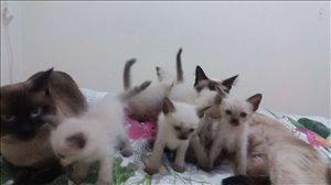 חתולים סיאמי מודיעין והסביבה