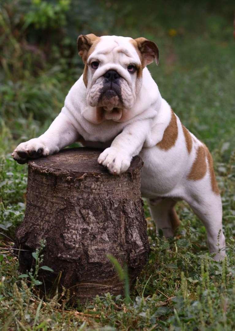 כלבים - בולדוג אנגלי