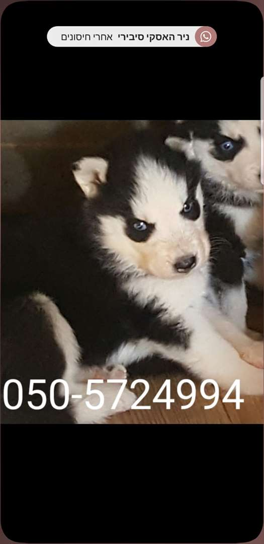 תמונה 2 ,כלבים האסקי סיביר   האסקי למכירה בקרית גת