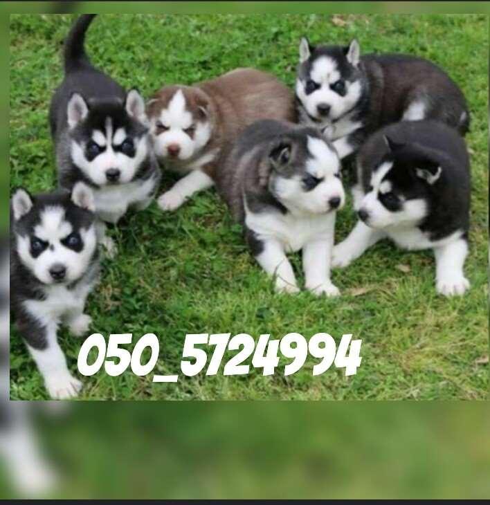 תמונה 1 ,כלבים האסקי סיביר   האסקי למכירה בקרית גת