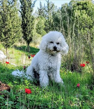 כלבים פודל תל אביב והמרכז