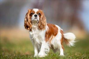 כלבים קבליר קינג צארלס ספנייל אשדוד והסביבה