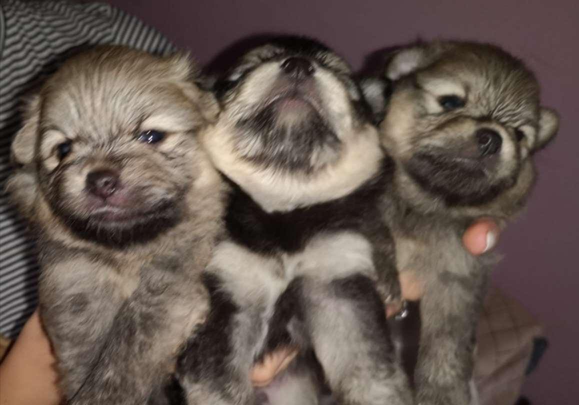 כלבים - פומרניאן