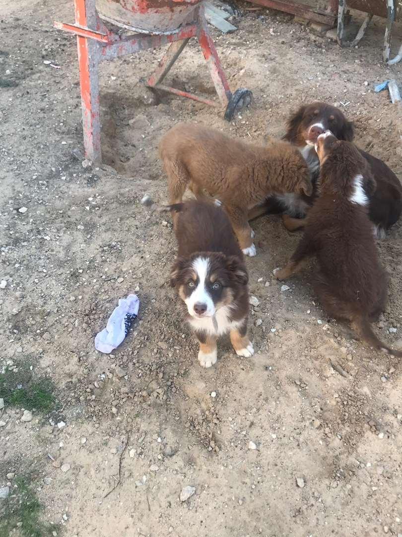 כלבים - רועה אוסטרלי
