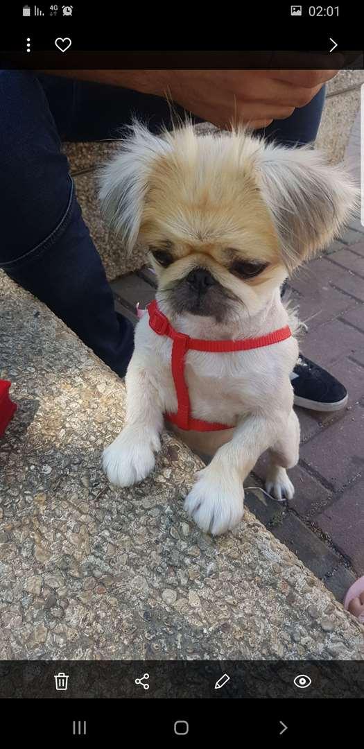 תמונה 2 ,כלבים פקינז   מיקה למכירה בקרית ביאליק