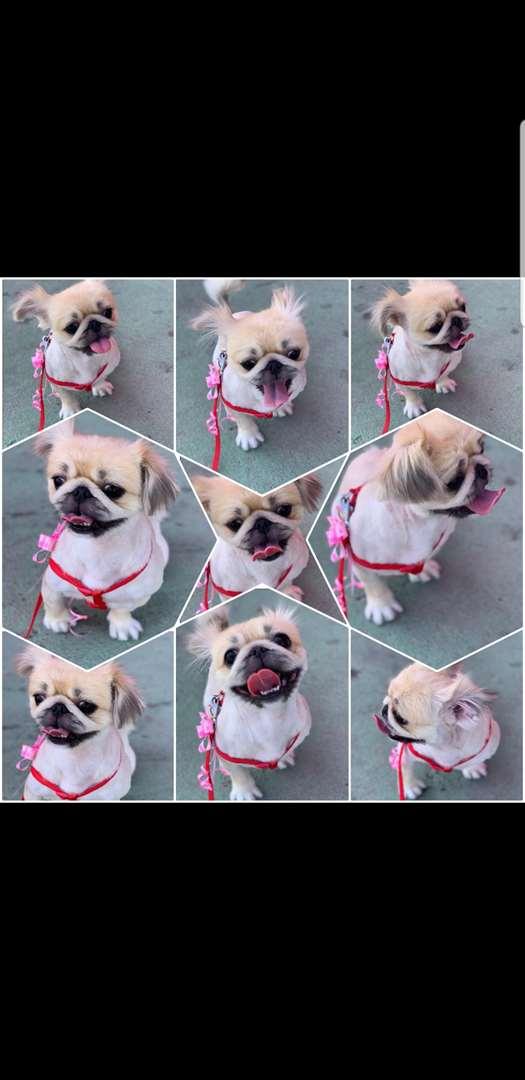 תמונה 3 ,כלבים פקינז   מיקה למכירה בקרית ביאליק