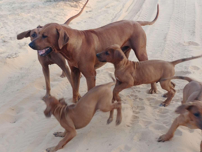 כלבים - רודיזאן רידגבק