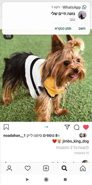 כלבים יורקשייר טרייר