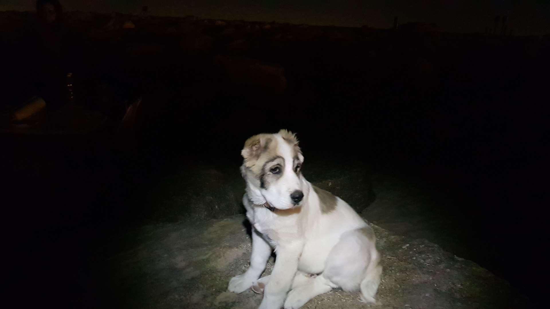 כלבים - רועה אסיאתי