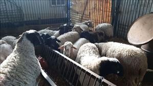 חיות משק כבשים עפולה והעמקים
