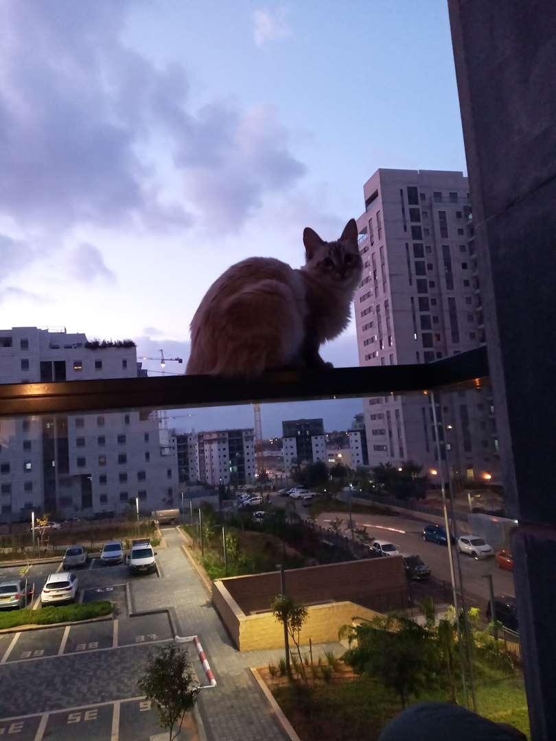 חתולים - סיאמי