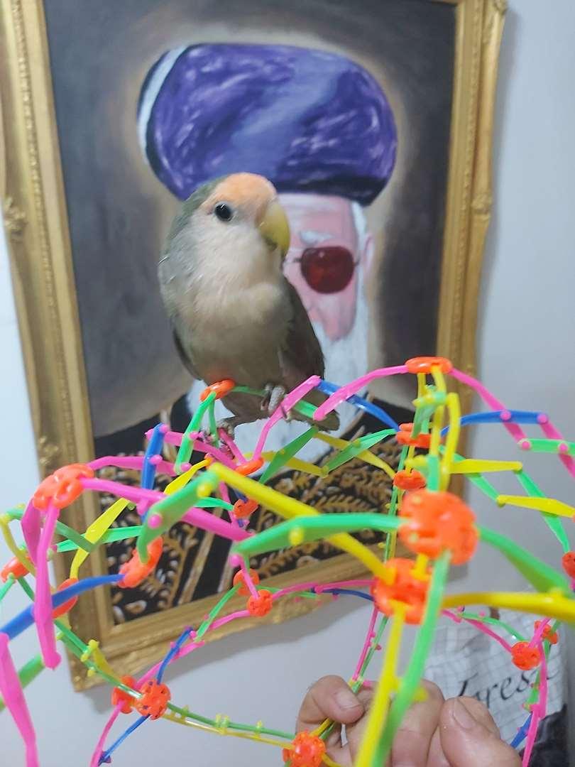 ציפורים - ציפורי אהבה