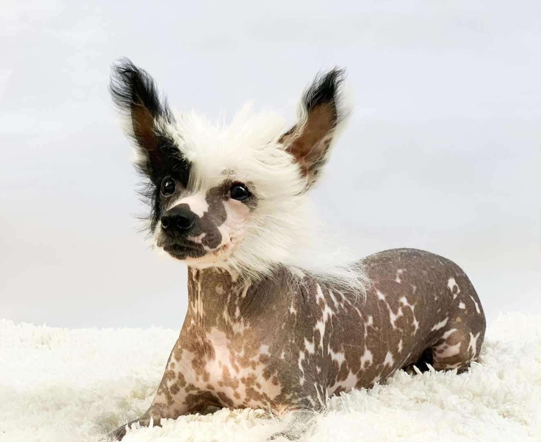 כלבים - סיני מצוייץ