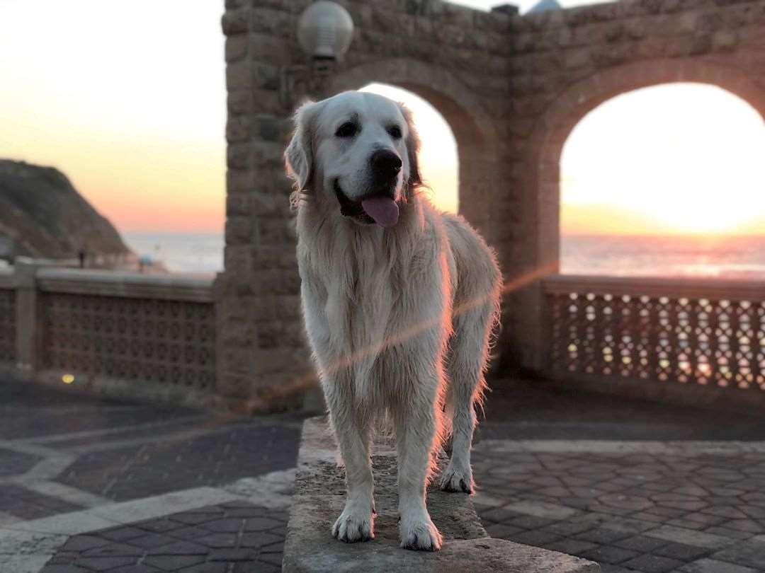כלבים - גולדן רטריבר