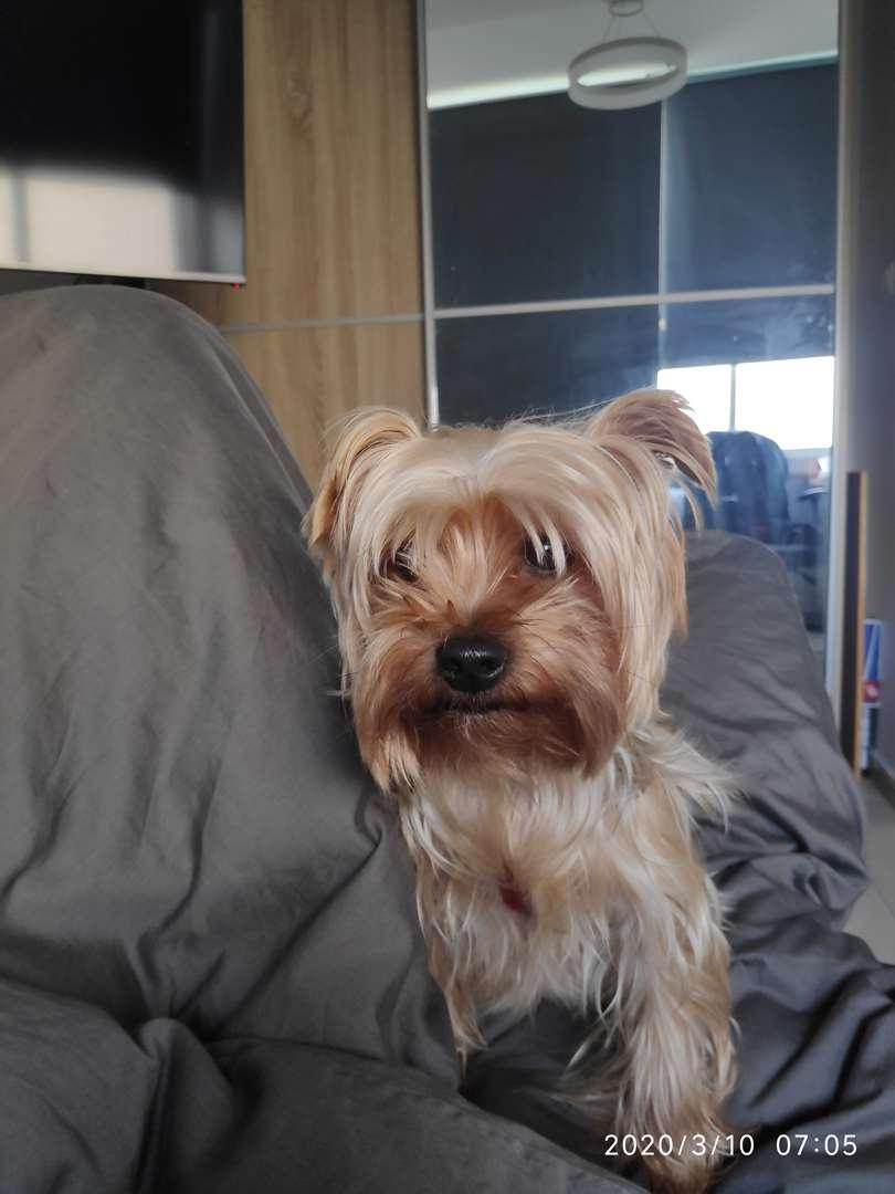 תמונה 3 ,כלבים יורקשייר טרייר   יורקשייר טרייר לשידוך בקרית מוצקין