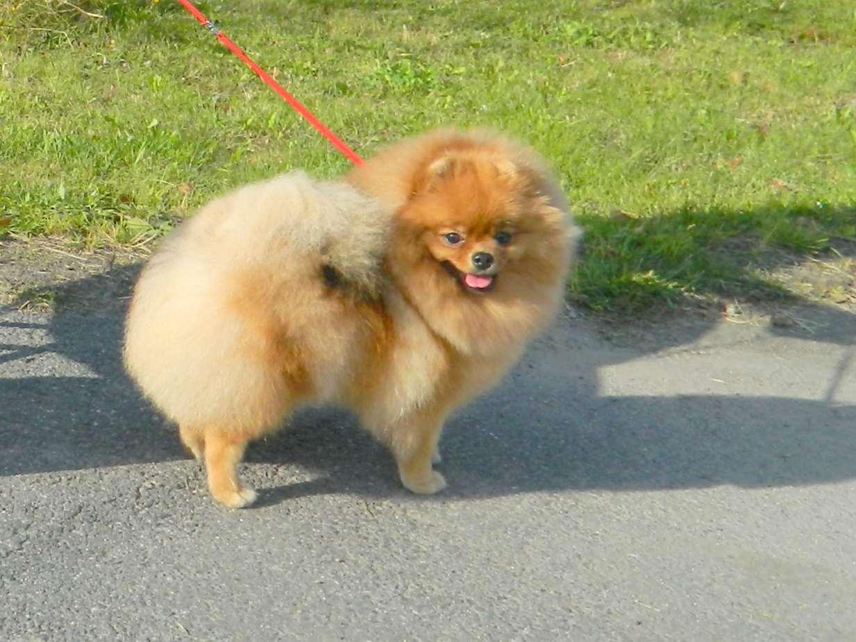 תמונה 1 ,כלבים פומרניאן   י לשידוך ברחובות