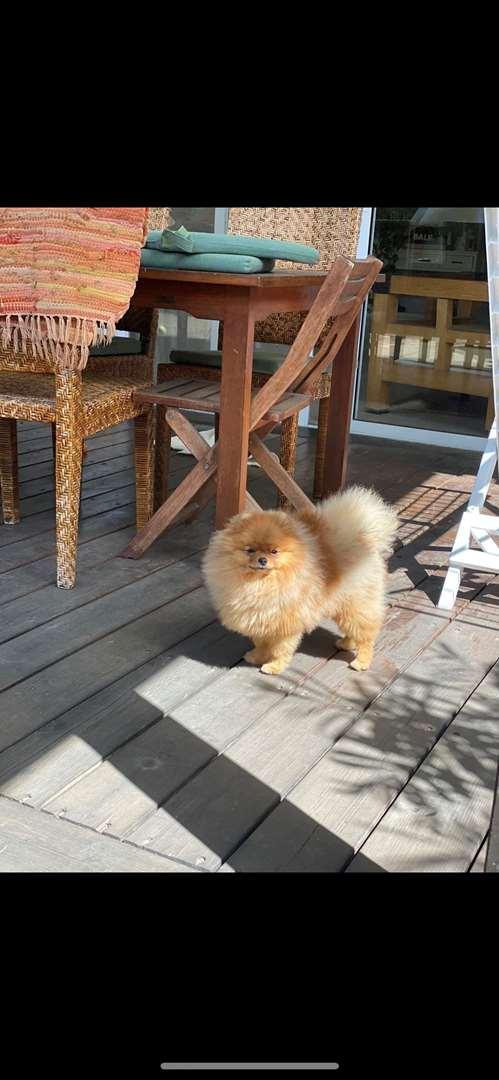 תמונה 2 ,כלבים פומרניאן   י לשידוך ברחובות