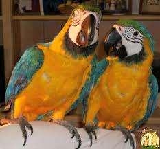 ציפורים - תוכים