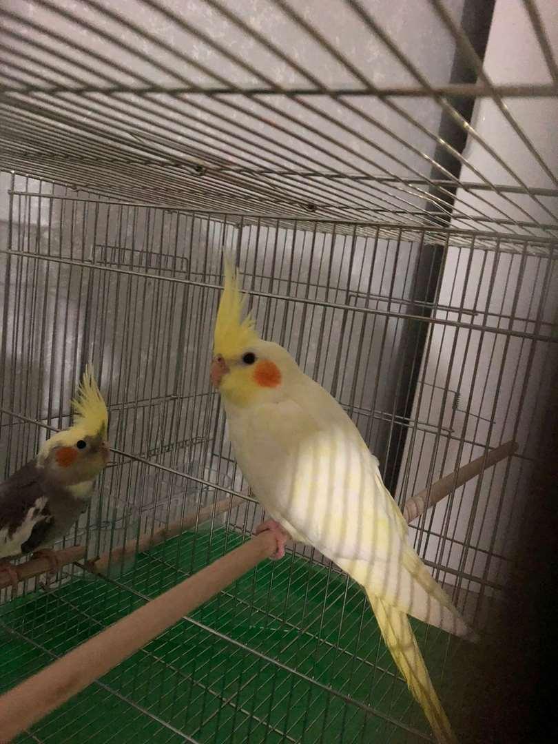 תמונה 2 ,תוכים ובעלי כנף קוקוטייל   קוקטייל למכירה במשהד