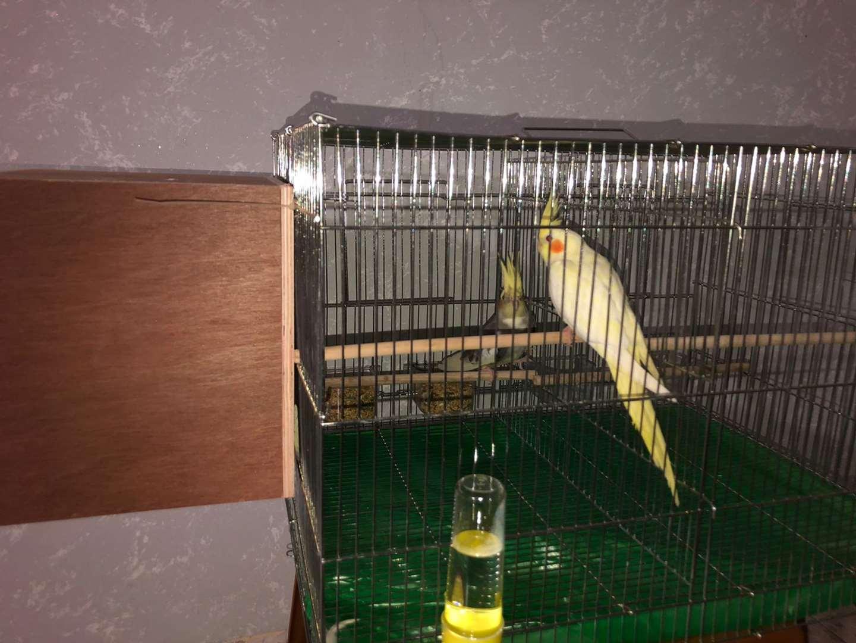 תמונה 3 ,תוכים ובעלי כנף קוקוטייל   קוקטייל למכירה במשהד