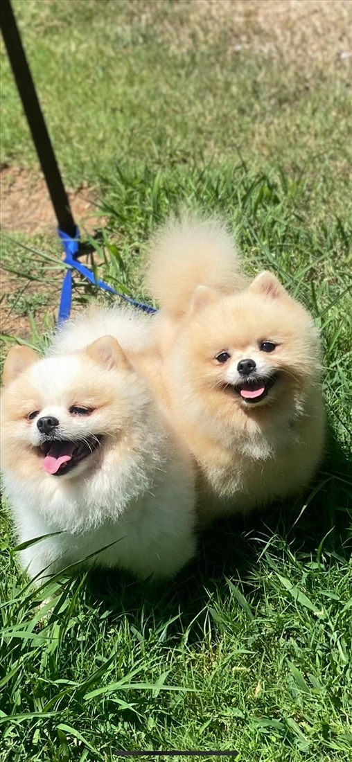 טדי בר  כלבים - פומרניאן