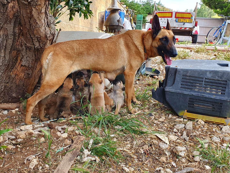 כלבים - זאב בלגי