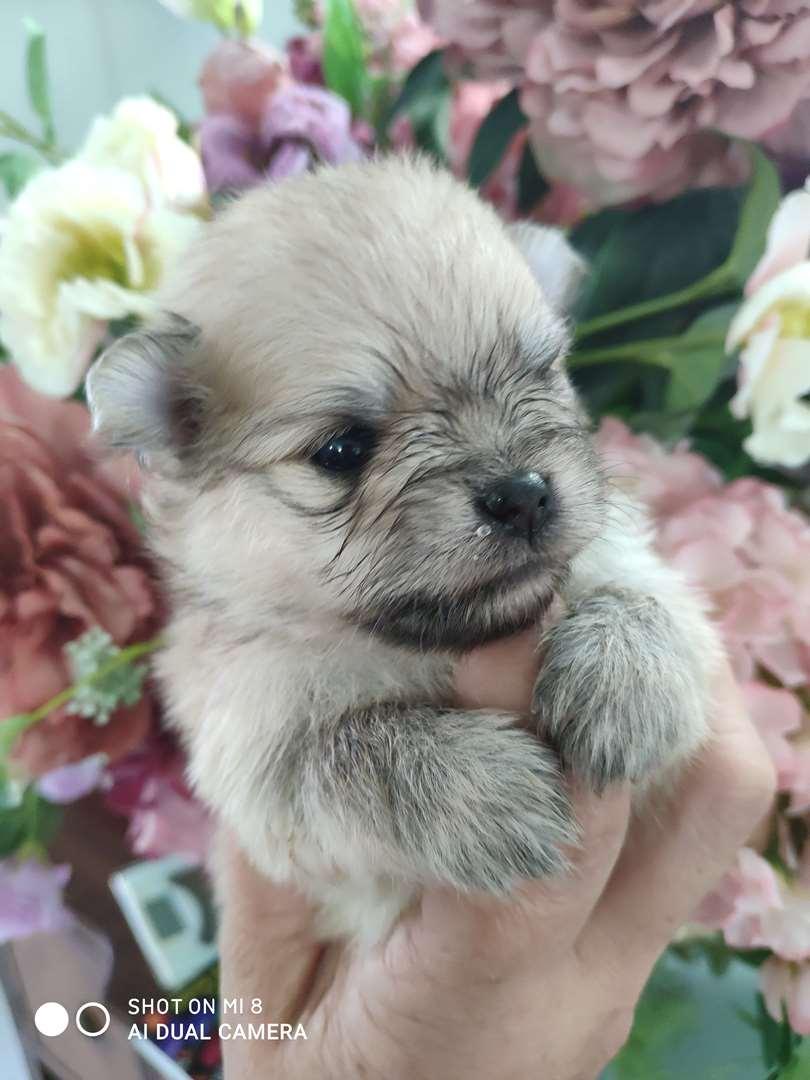 תמונה 2 ,כלבים פומרניאן   Nikita למכירה בראשון לציון