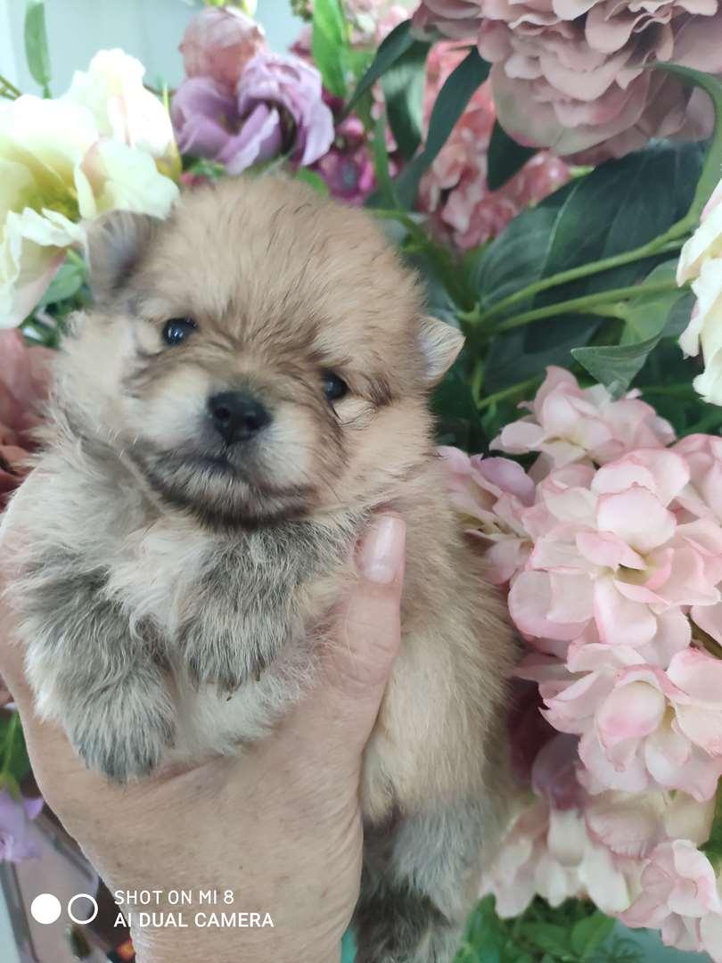 תמונה 3 ,כלבים פומרניאן   Nikita למכירה בראשון לציון