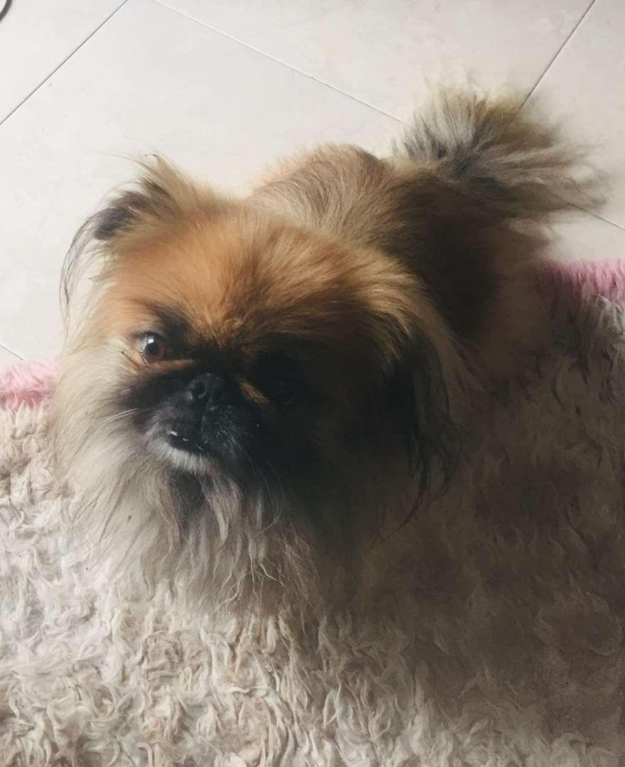 כלבים - פקינז