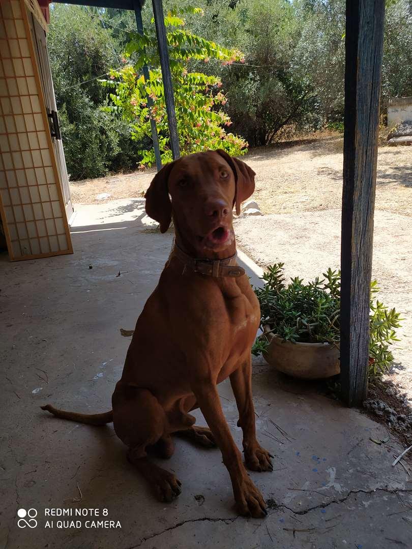 כלבים - ויזלה